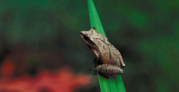 MythBlast: Life,Resurrection, and the Mythic Teachings of Frogs